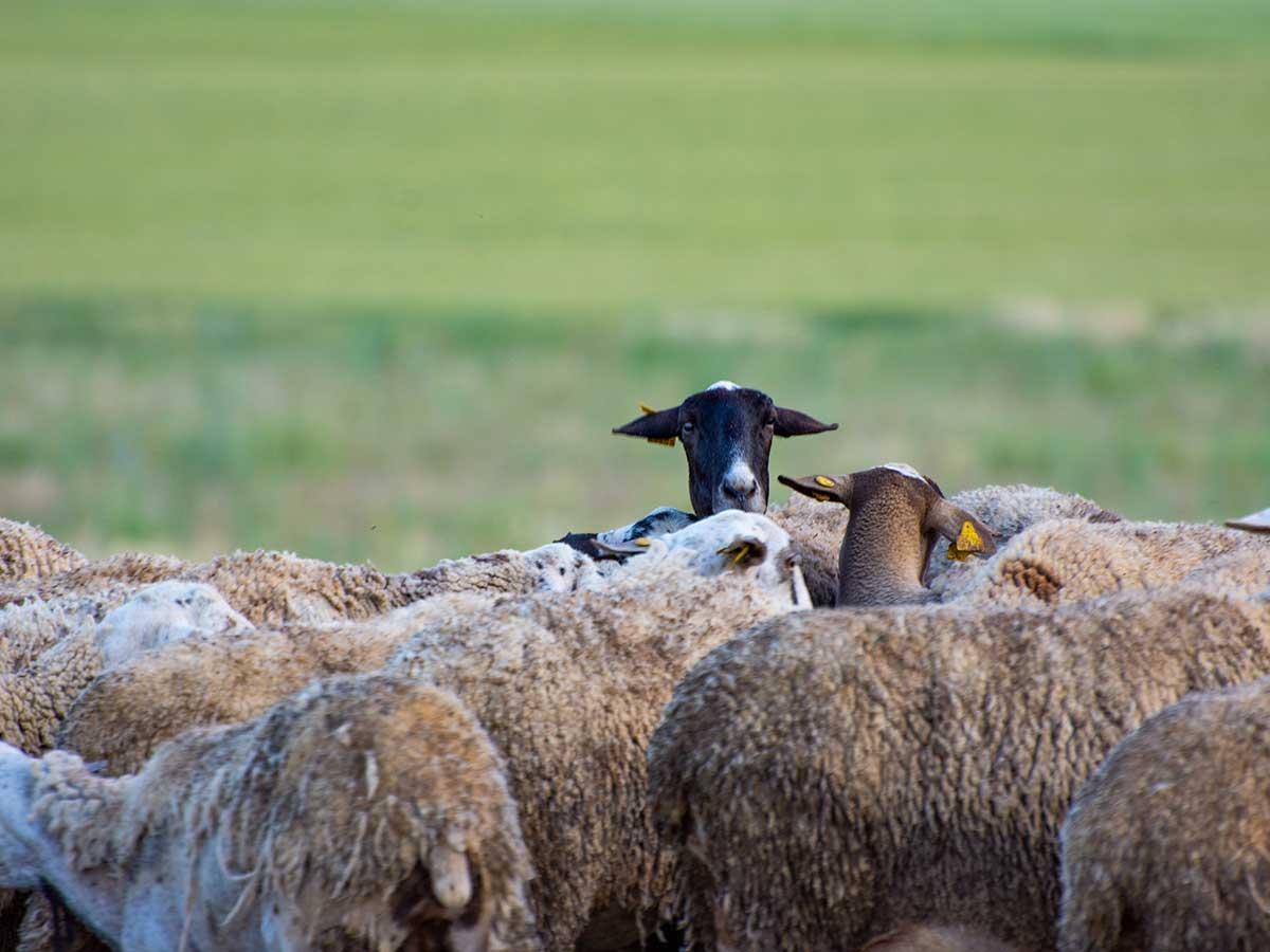 10.afca-lliga-2021-oveja-negra